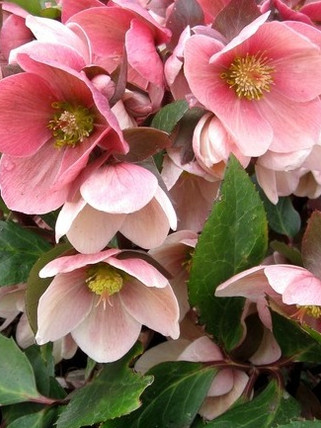Helleborus HGC 'Pink Frost'    Burgundy and white buds open to soft pink shades, maturing to deep burgundy. Silver green leaves. Upright and vigorous. Drought tolerant once established.  Exposure:Partial to full shade Color:Burgundy, white, soft pink Height:12-15 in.  Width:24 in. Water:Requires ample water Soil Needs:Moist, well-drained soil. Mulch to maintain summer moisture. Bloom time: Winter – early spring Category: Perennial  Cold hardy to USDA zone 5.  Drought resistant, pollinator friendly, deer resistant.  Photo credit: Skagit