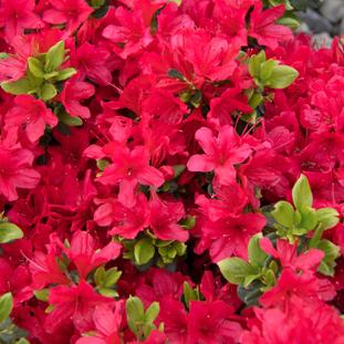 Azalea 'Girard's Crimson'