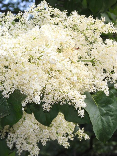 Lilac - Ivory Silk Japanese Tree Lilac