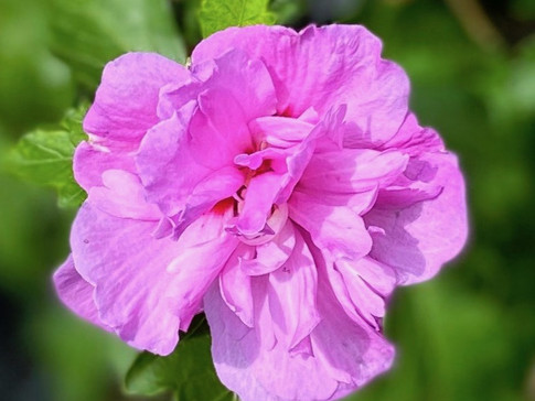 Rose of Sharon 'Ardens'