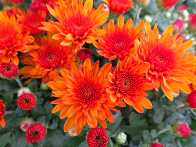 Chrysanthemums_Orange_IMG_3007.jpg