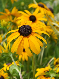 Black-eyed Susan flower July-September     Rudbeckia fulgida 'Goldsturm'(Black-eyed Susan)  Large golden yellow flowers with a velvety brown center. Long lasting flowers through summer and autumn.  Semi-Evergreen ExposureFull sun ColorYellow Height25in - 36in HabitUpright WaterLet dry between waterings CategoryPerennials Deer resistant. Drought  tolerant.  Plant descriptions: T&L