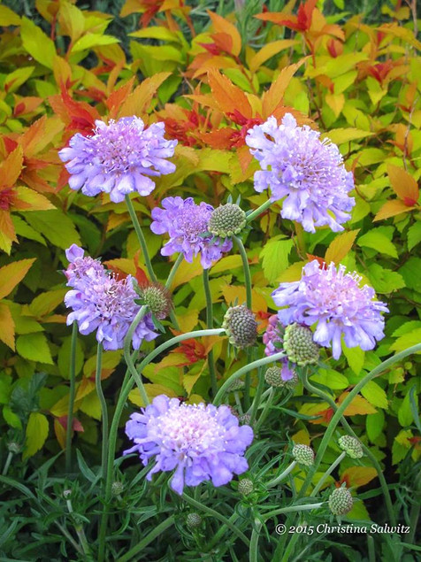 Pincushion Flower May-September     Scabiosa columbaria 'Blue Note' (Dwarf Pincushion Flower)  Large flowering and floriferous bloomer produces clear blue button flowers that are great cut. Full sun and well drained soil.  Deciduous ExposureFull sun ColorBlue / Purple Height13in - 24in HabitMound WaterKeep soil evenly moist CategoryPerennials Deer resistant  Plant descriptions: T&L