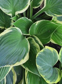 Plantain Lily (Hosta)
