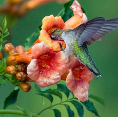 Plants for Hummingbirds