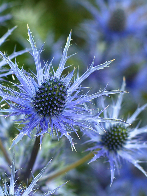 Sea Holly June-August     Eryngium zabelii 'Big Blue'(Sea Holly)  A terrific selection of Sea Holly, producing especially large heads of steel-blue prickly flowers over a mound of silvery leaves that add texture to the sunny border.  Herbaceous ExposureFull sun ColorBlue / Purple Height13in - 24in HabitUpright WaterLow water requirement CategoryPerennials Sub CategoryDrought Tolerant Deer resistant  Plant descriptions: T&L