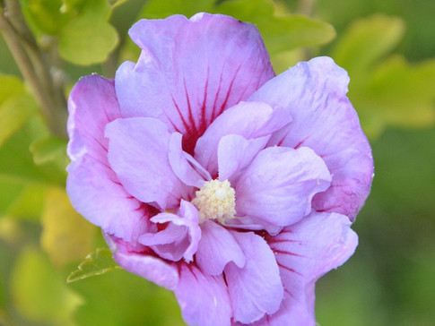 Rose of Sharon 'Lavender Chiffon'