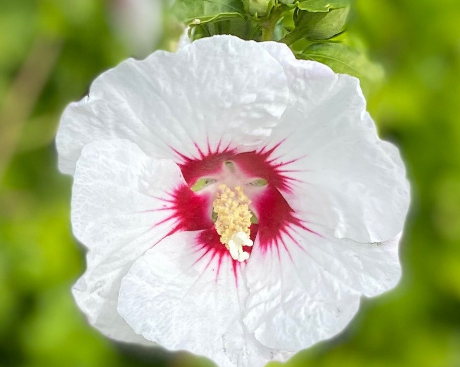 Rose of Sharon 'Red Heart'