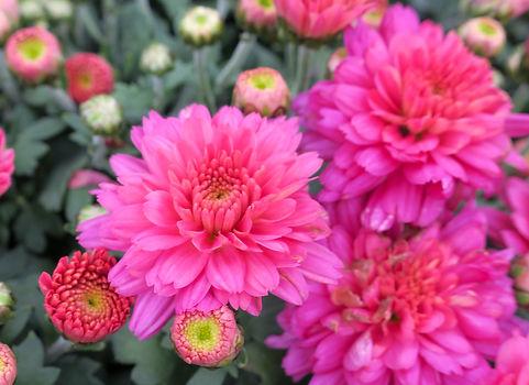 Chrysanthemums_2019_IMG_2873.JPG