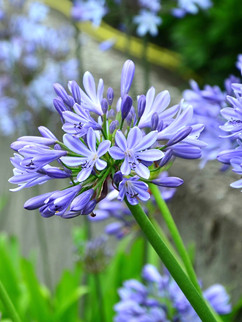 Lily of the Nile (Agapanthus)