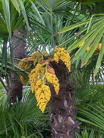 Fruiting Palm Tree