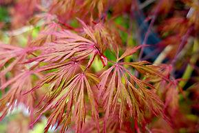 Japanese Maple Orangeloa