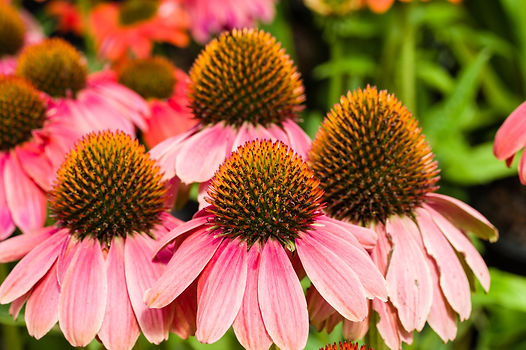 Group of pink flowering Echinacea blosso