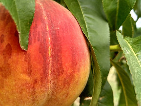 Peach from pixabay