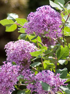 Lilac 'Bloomerang' A repeat bloomer