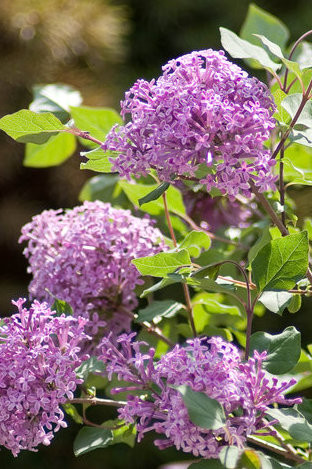 Lilac 'Bloomerang' A repeat bloomer
