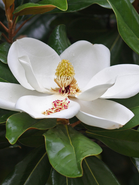 'Claudia Wannamaker' evergreen Southern magnolia    Image:  DavetheMage [CC BY 3.0 (https://creativecommons.org/licenses/by/3.0)]