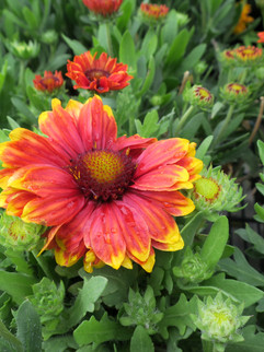 Blanket Flower  April-September     Gaillardia grand. 'Goblin'(Dwarf Blanket Flower - Red w/ Yellow)  Red with yellow tipped petals bloom all summer on this compact dwarf variety. Great for cut bouquets. Plant in well-draining soil.  Herbaceous ExposureFull sun ColorRed Height13in - 24in HabitMound WaterLet dry between waterings CategoryPerennials Deer resistant  Plant descriptions: T&L