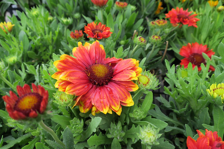 Gaillardia_'SunsetSnappy'Blanketflower_I