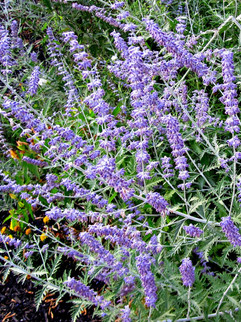 Russian Sage  July-September     Perovskia atriplicifolia (Russian Sage)  Light purple-blue flowers throughout the summer, set off against the white stems.   Herbaceous ExposureFull sun ColorBlue / Purple Height3ft - 5ft HabitBushy Spacing30-36in WaterLet dry between waterings CategoryPerennials Deer resistant. Drought tolerant.  Plant descriptions: T&L