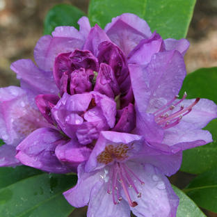 Rhod 'Purpureum Elegans'