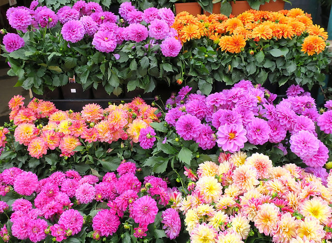 Dahlias_group_cropped_IMG_1926_OWNED.jpe