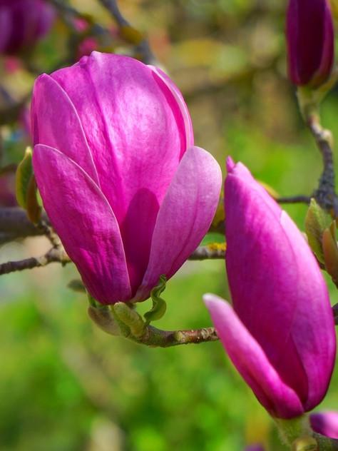 'Black Tulip'       Photo: pixabay