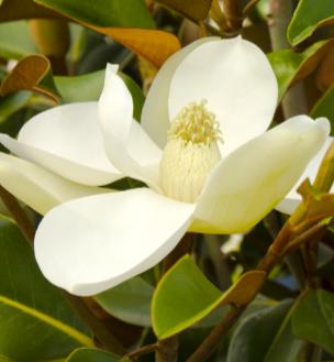 'Bracken's Brown Beauty' evergreen Southern magnolia   Photo: Monrovia