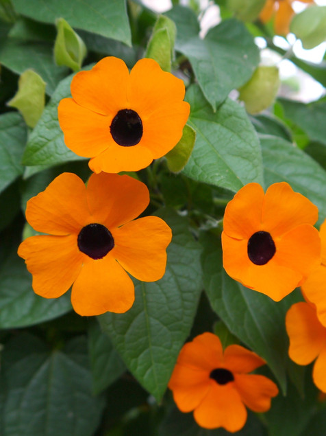 Black Eyed Susan vine June-September     Thunbergia (Black Eyed Susan Vine)  Twining vine for containers or trellises. Fast growing vine requires full sun and warm nights.  Herbaceous ExposureFull sun ColorYellow Height8ft + HabitClimber WaterKeep soil evenly moist CategoryAnnuals  Plant descriptions: T&L