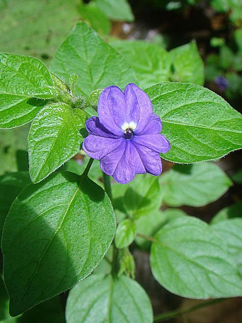 Browallia Amethyst Flower