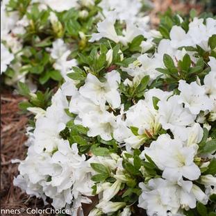 Azalea 'Bloom-a-thon White'
