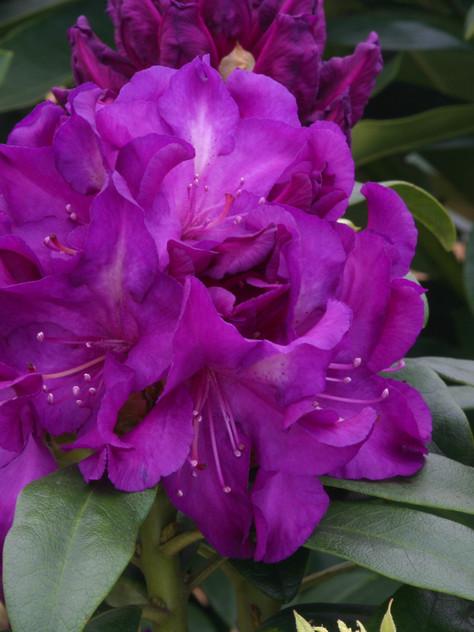 Rhod. 'Purple Passion'