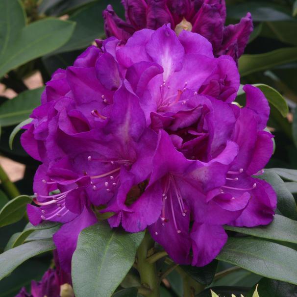 Rhod 'Purple Passion'