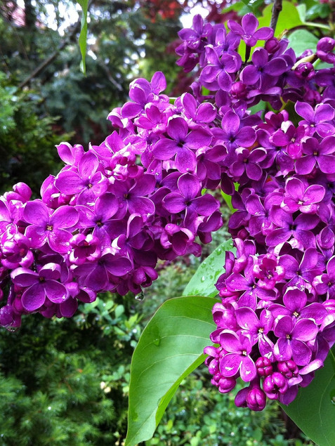 Lilac 'Yankee Doodle'