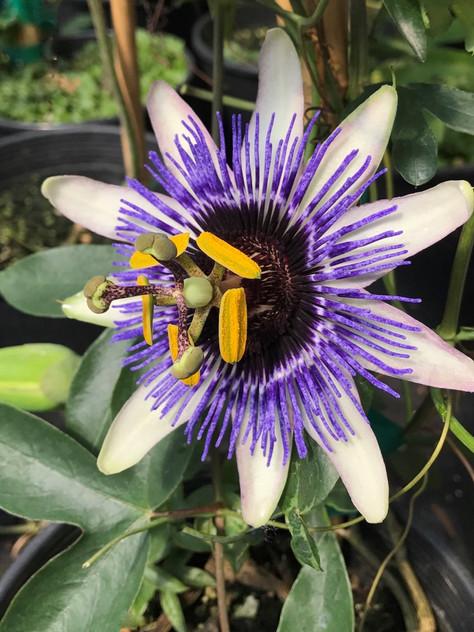 Passion Flower 'Damsel's Delight'