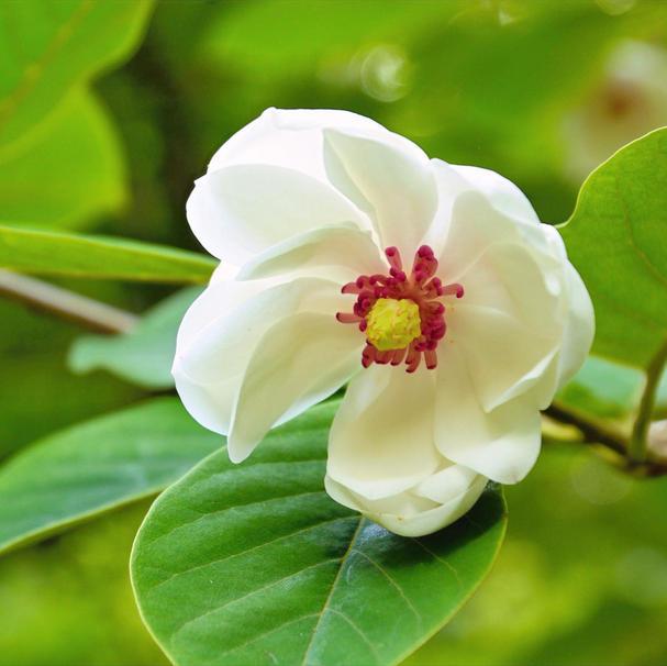 'Colossus' Magnolia sieboldi (Deciduous)
