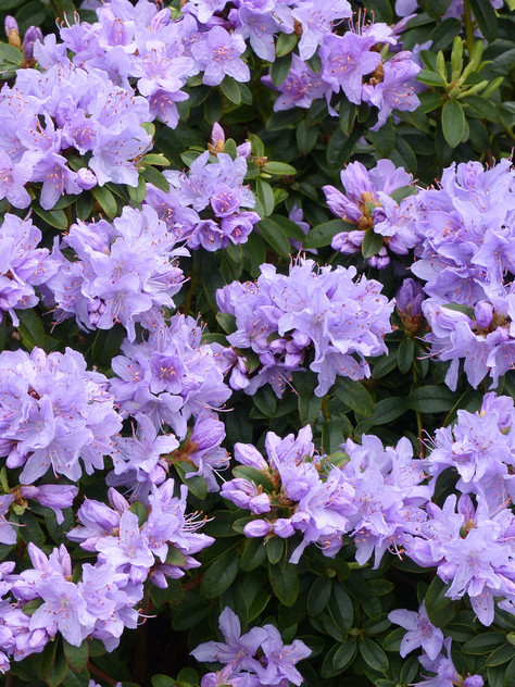 Rhod. 'Impeditum' (Dwarf)    A dwarf, compact shrub with displays of clusters of bright purple flowers.  DWARF, EVERGREEN  USDA zone: 5-8 Height:  1 ft.  Width:   1-2 ft. Slow growing Exposure:  Partial sun. Water:  Water regularly. Keep soil evenly moist. Blooms: Late Spring  Photo: rhododendron.org