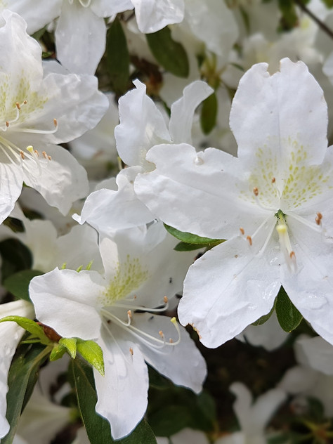 Azalea 'Girard's Pleasant White'
