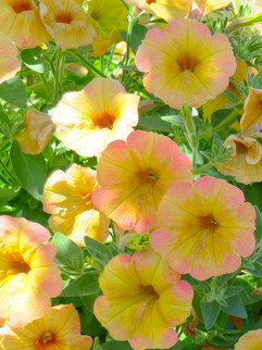 Petunias May-October     Petunias  Herbaceous ExposureFull sun ColorMulti WaterKeep soil evenly moist Annual  Plant descriptions: T&L
