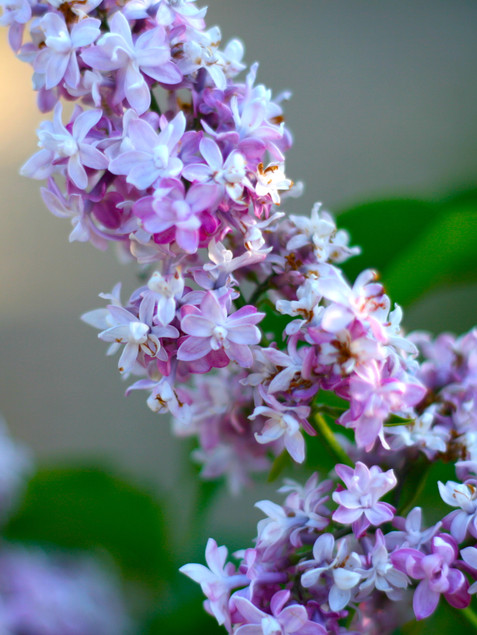 Common French Lilac