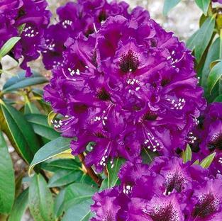 Rhod 'Purple Splendour'