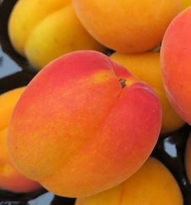 Apricot_LocalYakima_IMG_2407.JPG
