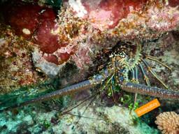 Caribbean crawfish.jpg