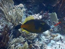 whitespotted filefish.jpg