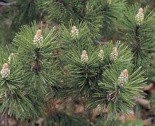 Mugo Pine.jpg