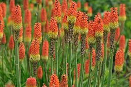 Red Hot Poker.jpg