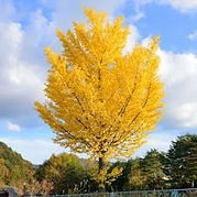 Autumn Gold Ginko Maidenhair Tree.jpg