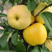 Golden Delicious Apple Tree.jpg