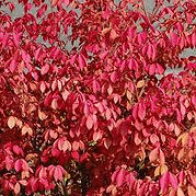 Burning Bush.jpg