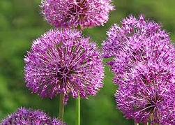 Ornamental Onion.jpg